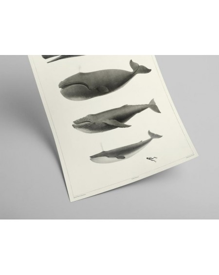 Plakat World's Whales